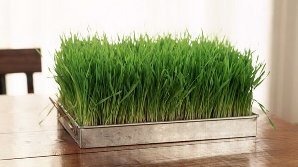 Wheatgrass Centerpiece. Create a rustic wedding style for fresh decor style with this growing wheatgrass used for place settings or centerpieces. Embrace your wedding ceremony with this pop of green in modern decoration style.